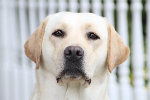 Bella - Best of Breed Labrador Hers and Essex Border Canine Society April 2015