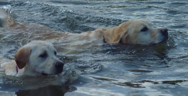 Labrador Max Swimming with puppy Dusty