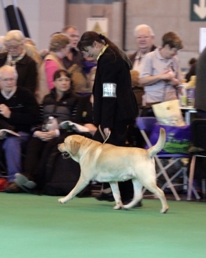 Labrador Allenies Match Maker at Crufts 2009