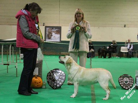 Best in Show Labrador Puppy Kimbajak Bella Giola
