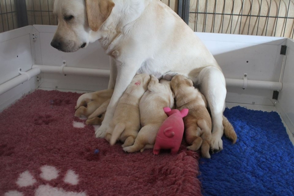 Bella with her litter of puppies