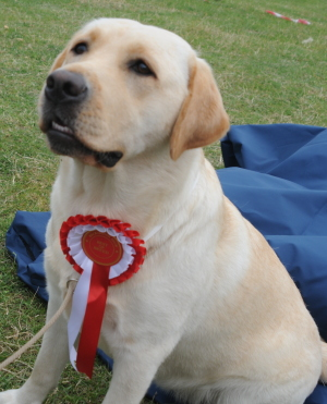 Heckington Agricultural Show Labrador Dog Show