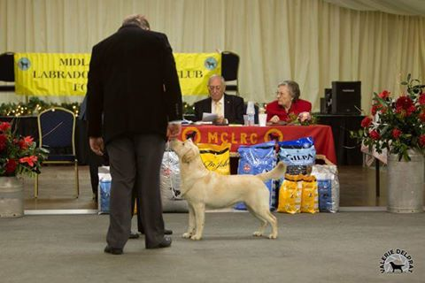 Labrador Kimbajak Libby at Midland Counties LRC Contest of Champions