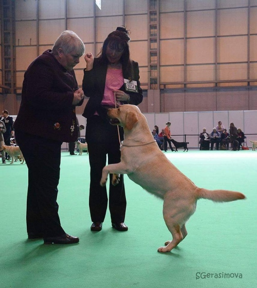 Labrador Kimbajak Libby at Crufts Dog Show 2016