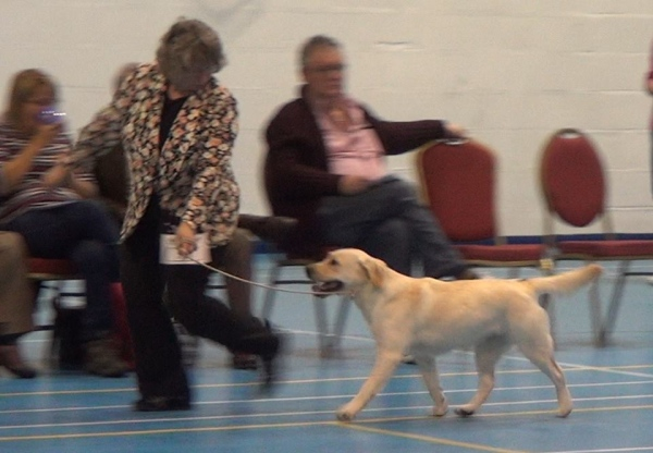 Labrador Kimbajak Libby at Yellow Labrador Club Dog Show 2016